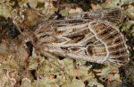 Thalpophila vitalba (I)