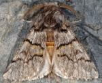 Thaumetopoea pinivora (I)