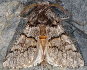 Thaumetopoea pinivora 1