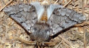 Thaumetopoea pityocampa 2