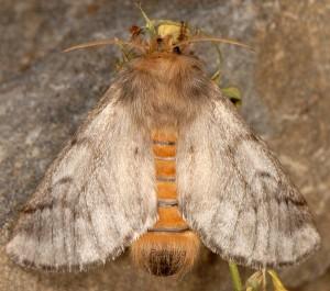 Thaumetopoea pityocampa 3