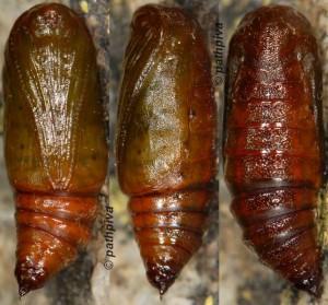Thera cognata chrysalide 06 1