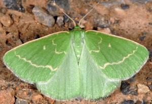 Thetidia smaragdaria 06 1