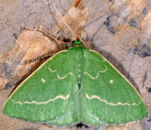 Thetidia smaragdaria 06 2