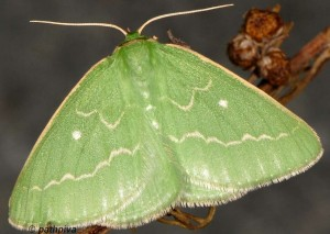 Thetidia smaragdaria 66 1