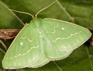 Thetidia smaragdaria 66 2