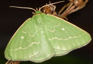 Thetidia smaragdaria 66 3