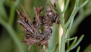 Thetidia smaragdaria L4 06 2