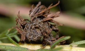 Thetidia smaragdaria L4 06 3