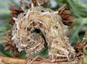 Thetidia smaragdaria L5 06 5