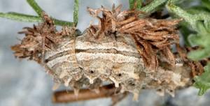 Thetidia smaragdaria L5 06 6