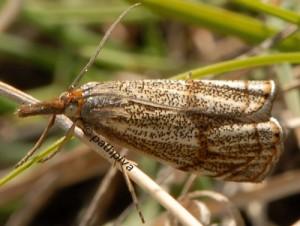 Thisanotia chrysonuchella 05 1