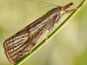 Thisanotia chrysonuchella 06 1