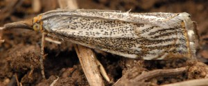 Thisanotia chrysonuchella 06 2