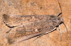 Thopeutis galleriellus 34 1