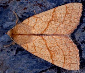 Tiliacea citrago
