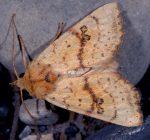Tiliacea sulphurago (I)