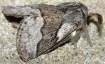 Trichiura castiliana (I)