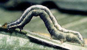 Trichoplusia ni L5