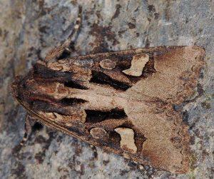 Trigonophora crassicornis