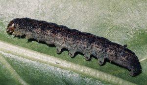 Trigonophora crassicornis L5