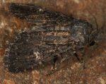 Trigonophora haasi (I, L4, L5, P)