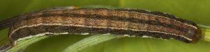 Trigonophora haasi