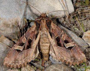 Trigonophora jodea