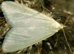 Udea rhododendronalis 06 1
