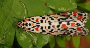 Utetheisa pulchella 4