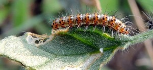 Utetheisa pulchella L3 5
