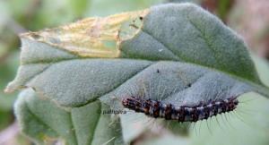 Utetheisa pulchella L4