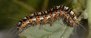 Utetheisa pulchella L5 1