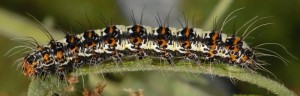 Utetheisa pulchella L5 2