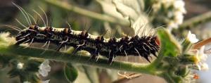 Utetheisa pulchella L5 3