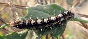Utetheisa pulchella L5 4