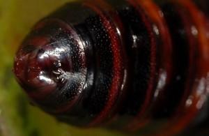 Utetheisa pulchella p 3