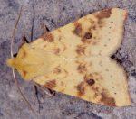 Xanthia icteritia (I)