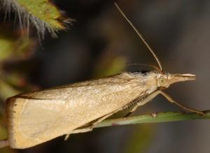 Xanthocrambus caducellus 04 1