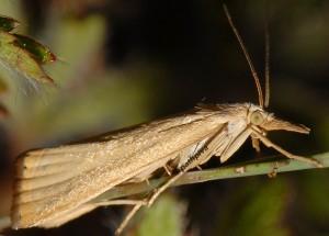 Xanthocrambus caducellus 04 2