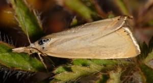 Xanthocrambus caducellus 04 3