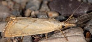 Xanthocrambus caducellus 06 1
