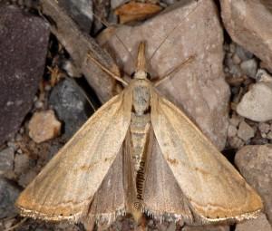 Xanthocrambus caducellus 06 2