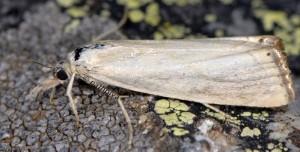 Xanthocrambus caducellus 06 3