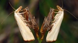 Xanthocrambus caducellus 11 1