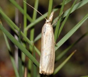 Xanthocrambus delicatellus 11 1