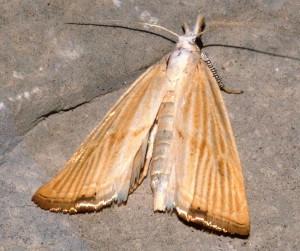 Xanthocrambus delicatellus 34 2