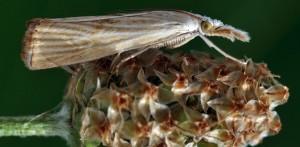 Xanthocrambus delicatellus 34 3