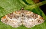 Xanthorhoe spadicearia 06 1