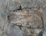 Xestia ashworthii (I)